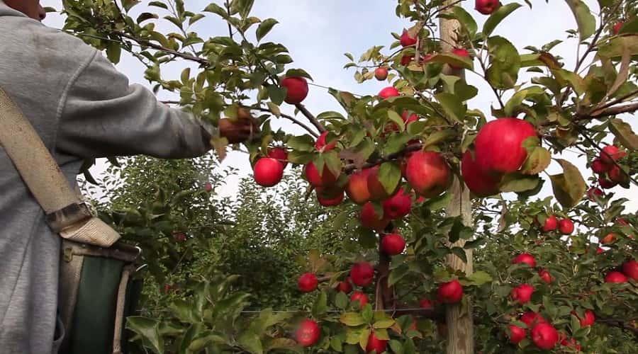 Apple Garden, Chaubatia Ranikhet